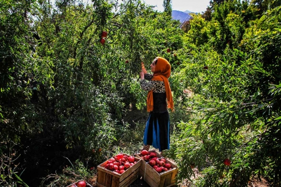 Package 18: Harvesting Pomegranate (Picking Rubies)